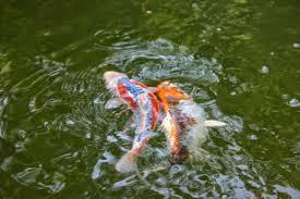 Vendita piante acquatiche realizzazione koi ponds for Piante acquatiche ossigenanti per laghetto